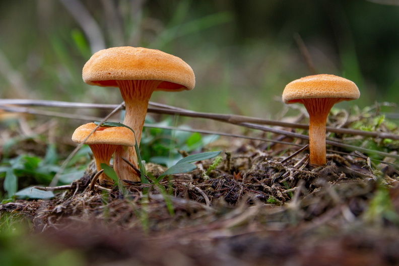 IMG_Mushrooms-2019-10-23-076.jpg